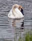 Trumpeter Swan Near Wonder Lake Neck Bent.jpg