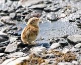 Ptarmigan Chick at Savage River.jpg