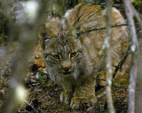 Lynx Crouched in the Trees.jpg