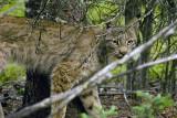 Lynx Near Wilderness Access Center.jpg