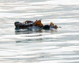 Sea Otter in Seward Harbor.jpg