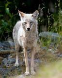 Coyote Near Exit Glacier.jpg