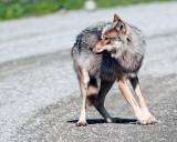 Wolf Looking Back.jpg