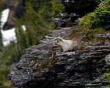Hoary Marmot on the Cliff.jpg