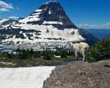 Mountain Goat at Hidden Lake Overlook.jpg