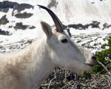 Mountain Goat at Hidden Lake Overlook Portrait.jpg