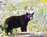 Black Bear Near St Mary.jpg