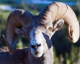 Bighorn Sheep Portrait at Logan Pass.jpg