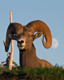 Bighorn Coming Over the Hill at Logan Pass.jpg