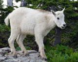 Mountain Goat Kid on a Rock at Logan Pass.jpg