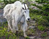 Mountain Goat at Logan Pass.jpg
