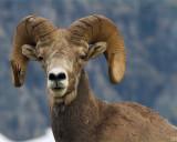 Bighorn Ram with Splintered Horn.jpg