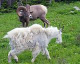 Bighorn Staring Down Mountain Goat at Logan Pass.jpg