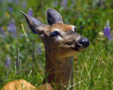 Doe in the Wildflowers on the Ptarmigan Tunnel Trail.jpg