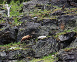Grizzly Near Grinnell Lake.jpg