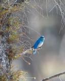 Mountain Bluebird on a Branch.jpg