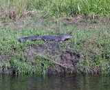 Gator on the bank of the Peace River.jpg