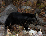 Black Bear on the Rocks Near Hellroaring.jpg