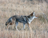 Coyote in the Flats.jpg