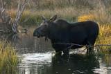 Moose in the Water on Moose-Wilson Road.jpg