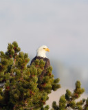 Bald Eagle in the Hayden Valley.jpg