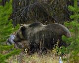 Grizzly Sow Near Pahaska TeePee.jpg
