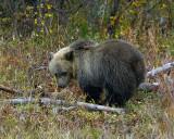 Grizzly Cub Near Pahaska TeePee.jpg