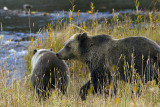Grizzly Sow Following Cub to the Creek.jpg