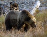 Grizzly Sow in the Grass.jpg