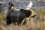 Grizzly Sow in the Valley.jpg