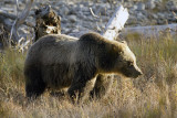 Grizzly Sow in the Valley Across From the Pahaska Teepee.jpg
