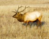 Bull Elk in the Meadow.jpg