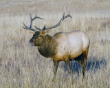 Elk Near Canyon.jpg