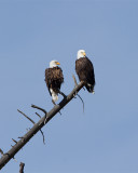 Bald Eagle Pair on the Madison River.jpg