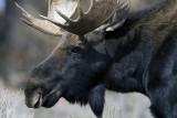 Bull Moose Close Up.jpg