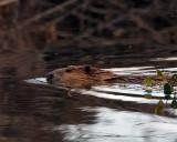 Beaver Swimming on Moose-Wilson Road.jpg
