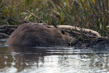 Beaver in the Pond.jpg