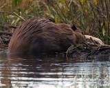Beaver on Moose-Wilson Road.jpg