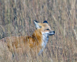Fox in the Grass.jpg