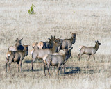 Elk Herd Near Canyon.jpg