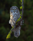 Great Gray Owl Vertical.jpg