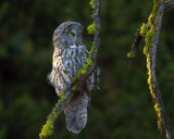 Great Gray Owl.jpg