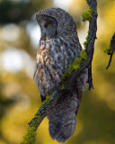 Great Gray Owl Perched.jpg