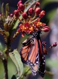 Butterfly on Flower Tight.jpg