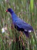 Purple Gallinule 2.jpg