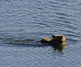 Bear in the lake.jpg