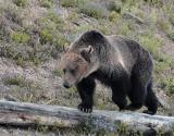 Bear stepping over log.jpg