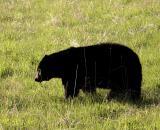 Black bear grazing.jpg