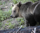 Grizzly Close Up.jpg