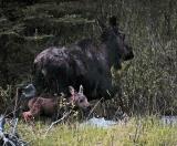 Moose with calf in stream.jpg